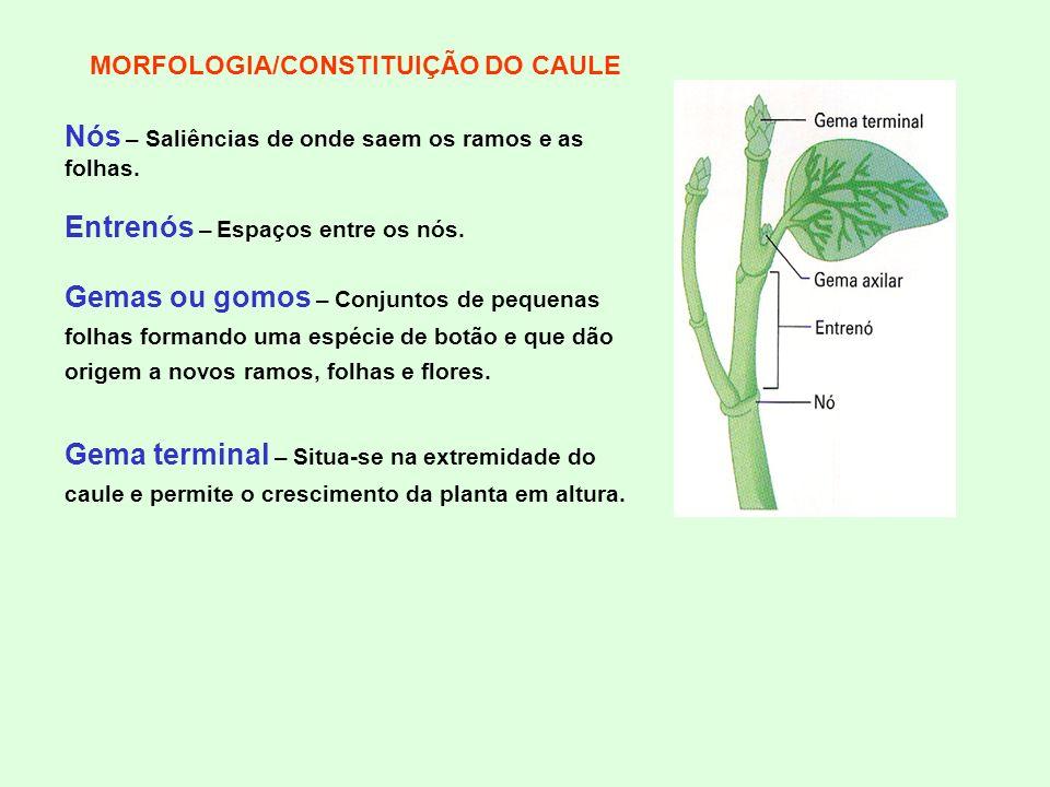 MORFOLOGIA/CONSTITUIÇÃO DO CAULE Nós – Saliências de onde saem os ramos e as folhas. Entrenós – Espaços entre os nós. Gemas ou gomos – Conjuntos de pe