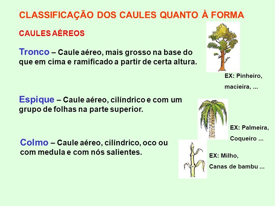 CLASSIFICAÇÃO DOS CAULES QUANTO À FORMA CAULES AÉREOS Tronco – Caule aéreo, mais grosso na base do que em cima e ramificado a partir de certa altura.