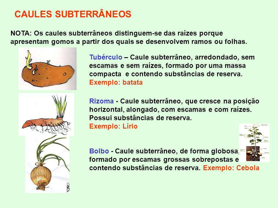 CAULES SUBTERRÂNEOS NOTA: Os caules subterrâneos distinguem-se das raízes porque apresentam gomos a partir dos quais se desenvolvem ramos ou folhas. B