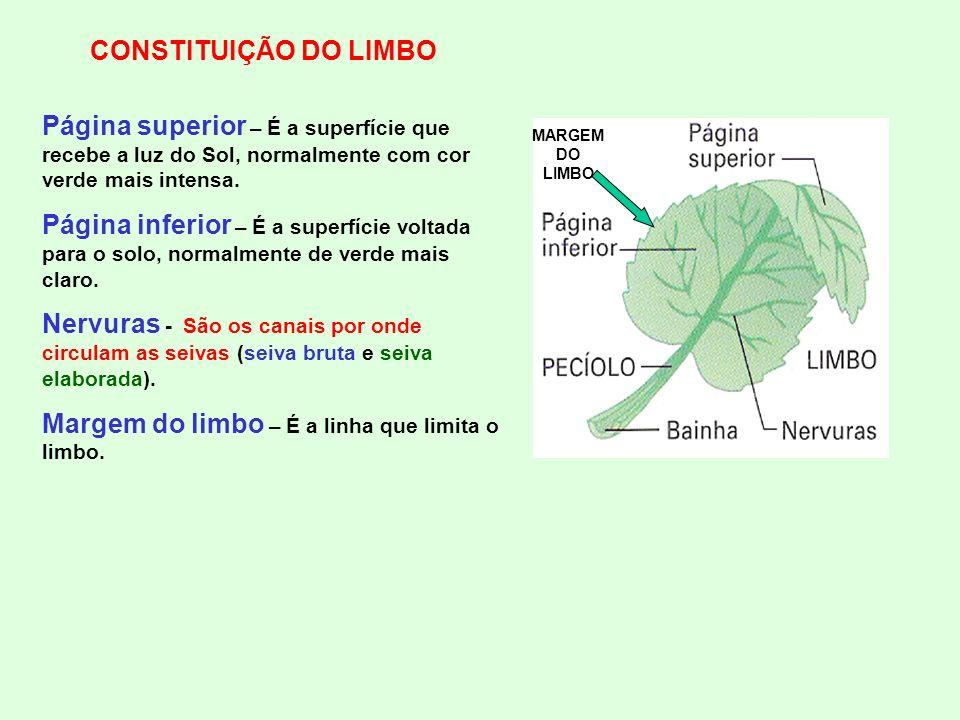 CONSTITUIÇÃO DO LIMBO Página superior – É a superfície que recebe a luz do Sol, normalmente com cor verde mais intensa. Página inferior – É a superfíc