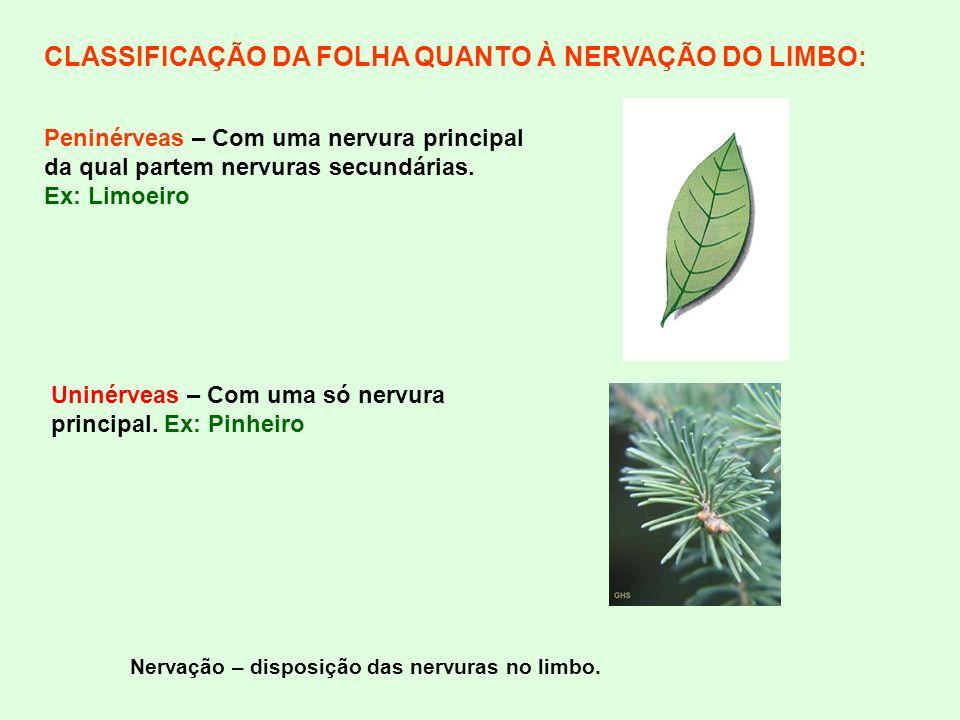 CLASSIFICAÇÃO DA FOLHA QUANTO À NERVAÇÃO DO LIMBO: Nervação – disposição das nervuras no limbo. Uninérveas – Com uma só nervura principal. Ex: Pinheir