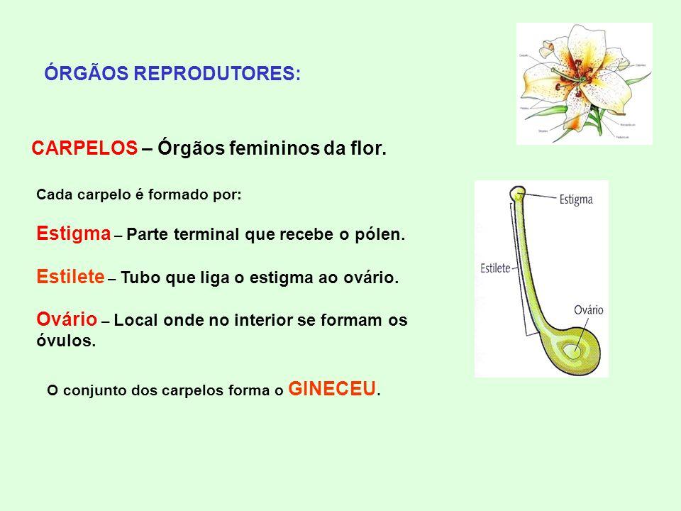 ÓRGÃOS REPRODUTORES: CARPELOS – Órgãos femininos da flor. Cada carpelo é formado por: Estigma – Parte terminal que recebe o pólen. Estilete – Tubo que