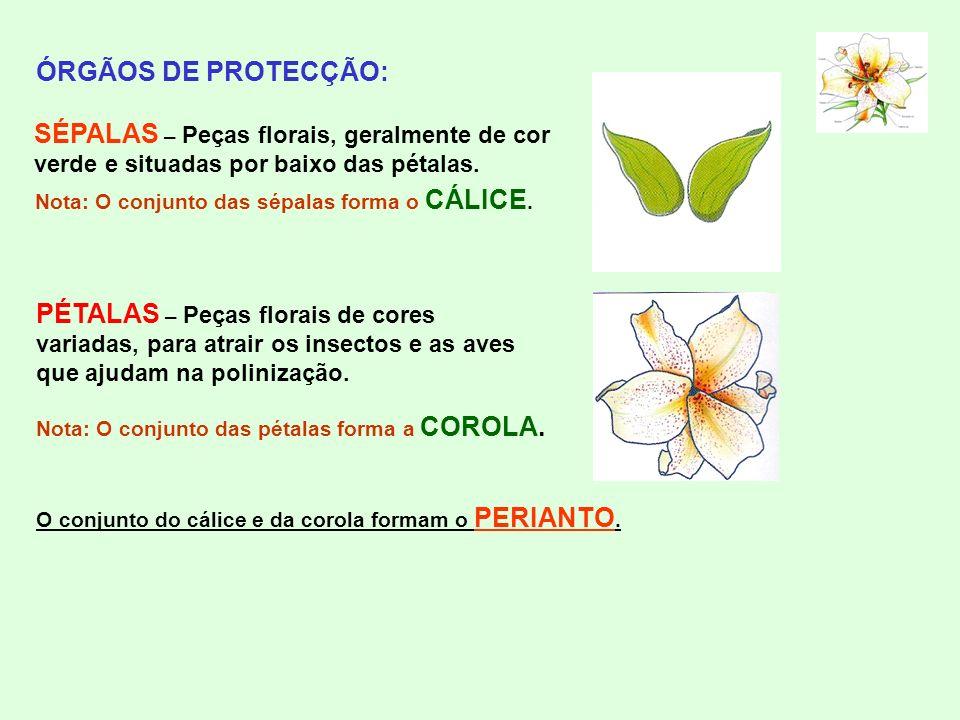 ÓRGÃOS DE PROTECÇÃO: SÉPALAS – Peças florais, geralmente de cor verde e situadas por baixo das pétalas. Nota: O conjunto das sépalas forma o CÁLICE. P