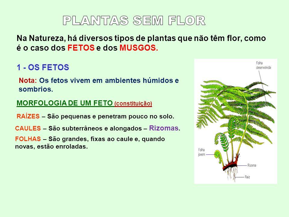 Na Natureza, há diversos tipos de plantas que não têm flor, como é o caso dos FETOS e dos MUSGOS. 1 - OS FETOS Nota: Os fetos vivem em ambientes húmid