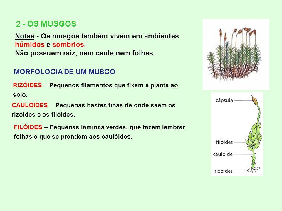 2 - OS MUSGOS Notas - Os musgos também vivem em ambientes húmidos e sombrios. Não possuem raiz, nem caule nem folhas. RIZÓIDES – Pequenos filamentos q