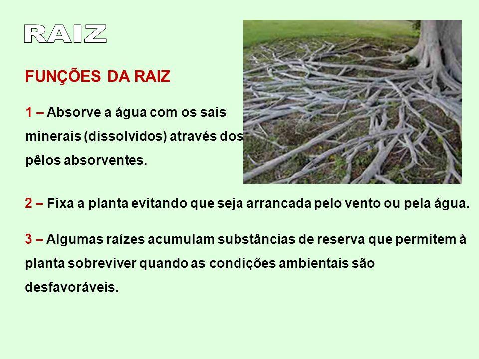 FUNÇÕES DA RAIZ 1 – Absorve a água com os sais minerais (dissolvidos) através dos pêlos absorventes. 2 – Fixa a planta evitando que seja arrancada pel