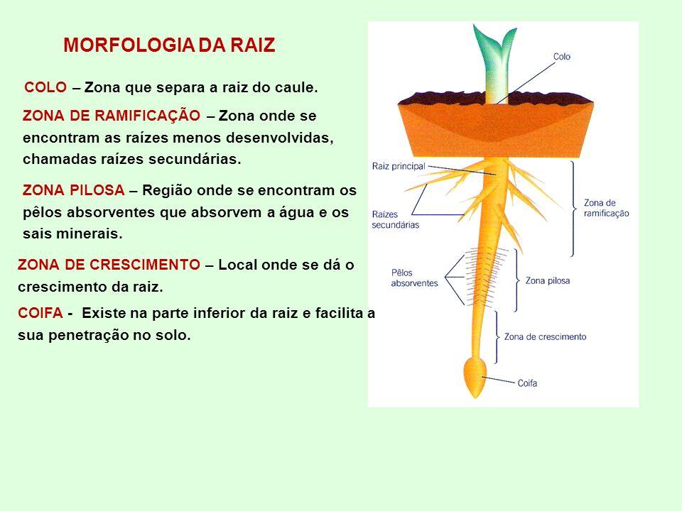 MORFOLOGIA DA RAIZ COIFA - Existe na parte inferior da raiz e facilita a sua penetração no solo. ZONA DE CRESCIMENTO – Local onde se dá o crescimento