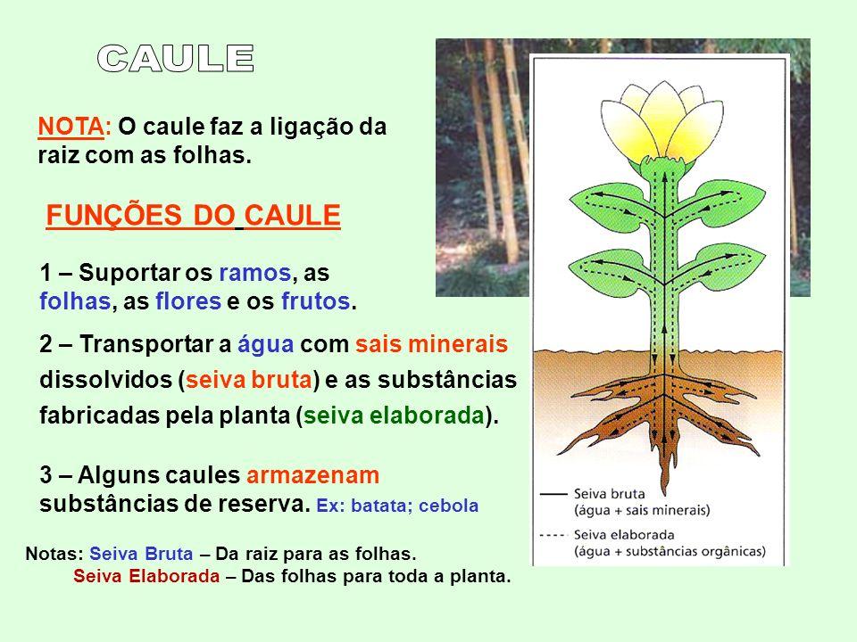 NOTA: O caule faz a ligação da raiz com as folhas. FUNÇÕES DO CAULE 1 – Suportar os ramos, as folhas, as flores e os frutos. 2 – Transportar a água co