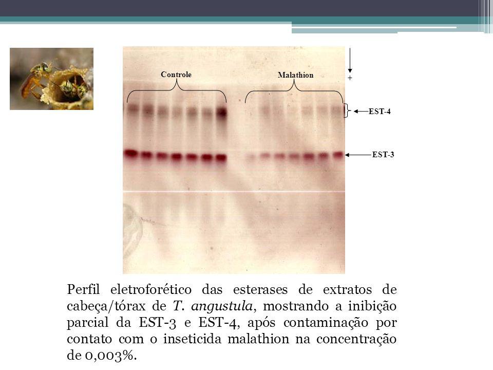 Malathion Controle EST-4 + EST-3 Perfil eletroforético das esterases de extratos de cabeça/tórax de T. angustula, mostrando a inibição parcial da EST-