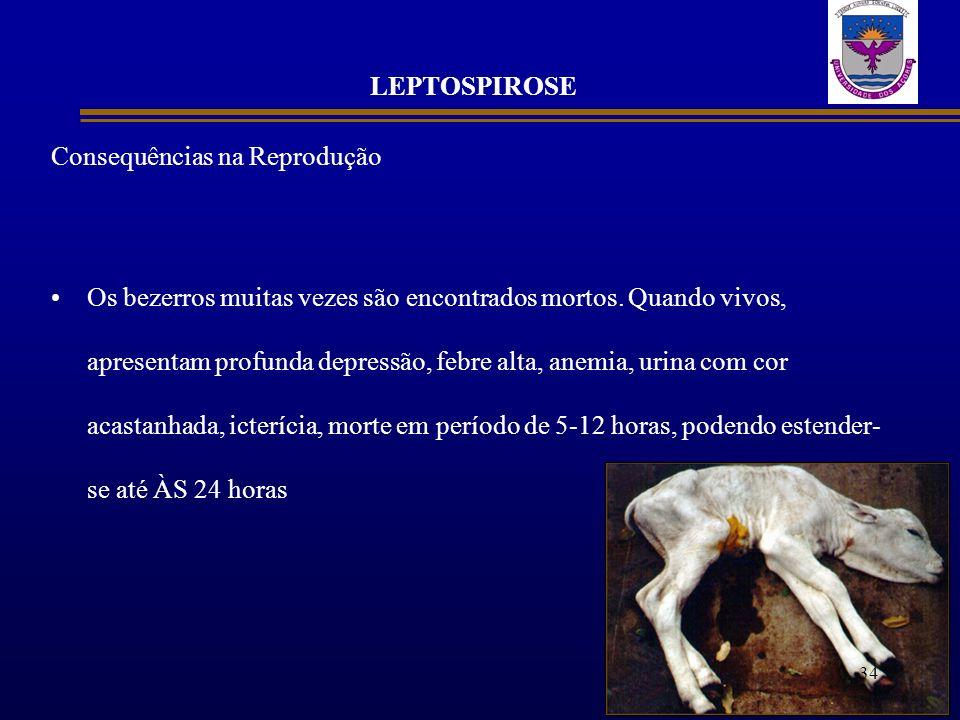 LEPTOSPIROSE Consequências na Reprodução Os bezerros muitas vezes são encontrados mortos. Quando vivos, apresentam profunda depressão, febre alta, ane