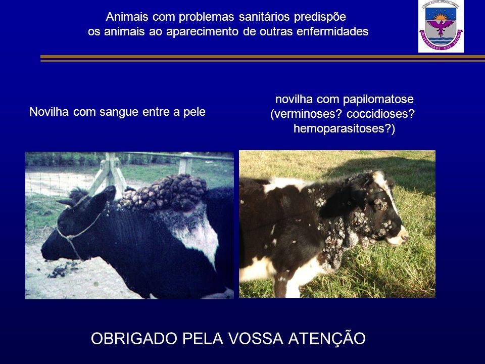 Animais com problemas sanitários predispõe os animais ao aparecimento de outras enfermidades novilha com papilomatose (verminoses? coccidioses? hemopa