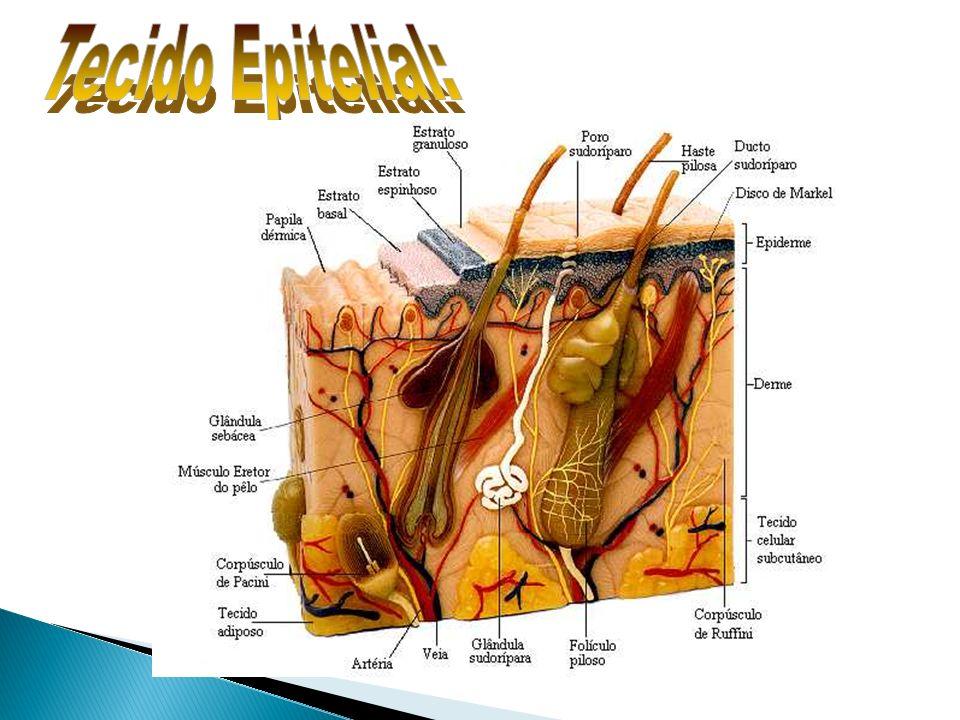 Receptores da pele: Meissner – tato; Ruffini – calor; Krause – frio; Pacini – pressão; terminações nervosas livres – dor.