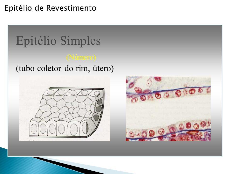 Epitélio de Revestimento Epitélio Estratificado (esôfago, cavidade bucal)