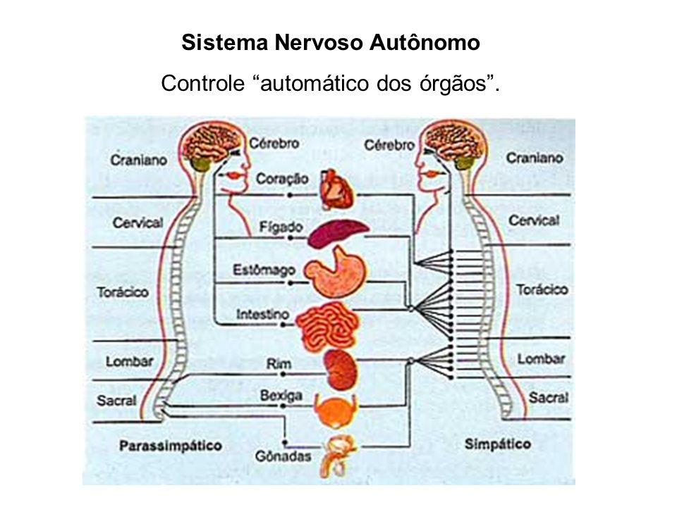 Sistema Nervoso Autônomo Controle automático dos órgãos.