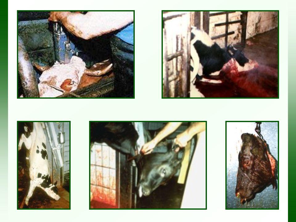 http://www.cowsarecool.com/ http://www.viva.org.uk http://www.lettuceladies.com http://www.meatstinks.com http://www.animalsvoice.com/PAGES/archive/food.htmlhttp://www.animalsvoice.com/PAGES/archive/food.html (FOTOS) http://www.slaughterhousecam.com/http://www.slaughterhousecam.com/ (VIDEOS) http://www.factoryfarming.com/gallery/photos_video.htmhttp://www.factoryfarming.com/gallery/photos_video.htm (VIDEOS E FOTOS) Sites em Português: http://www.escolhavegan.cjb.net/ http://www.vegetarianismo.com.br/ http://www.apasfa.org/futuro/animais_consumo.shtml http://www.geocities.com/Vienna/2659/panfleto4.htm Assista ao trailler do documentário The Witness em Espanhol ( El Testigo) Vídeo à venda online: http://www.eltestigo.orghttp://www.eltestigo.org PARA SABER MAIS: CONHEÇA PESSOAS QUE LUTAM PELOS ANIMAIS;: Grupo Veg-Brasil - discute vegetarianismo em seus mais amplos aspectos: http://br.groups.yahoo.com/group/veg-brasilhttp://br.groups.yahoo.com/group/veg-brasil Grupo Jovens Vegans - visa unir jovens vegans e vegetarianos de todas as idades que falam Português.