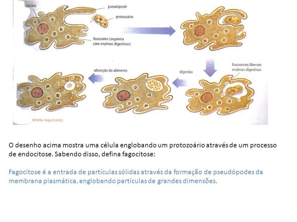 O desenho acima mostra uma célula englobando um protozoário através de um processo de endocitose. Sabendo disso, defina fagocitose: Fagocitose é a ent