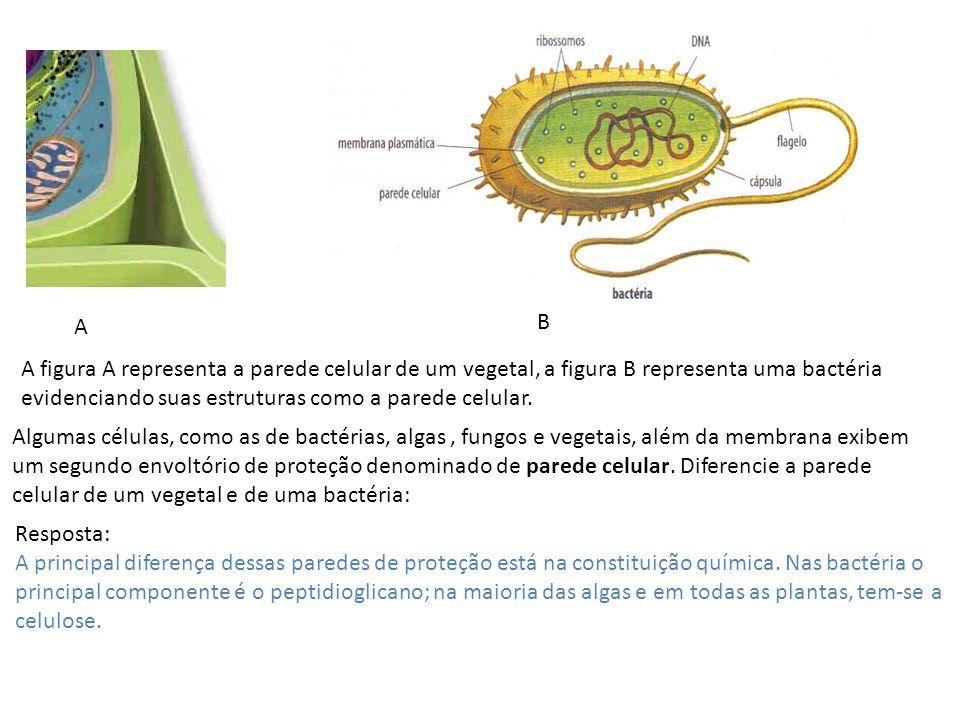 A B A figura A representa a parede celular de um vegetal, a figura B representa uma bactéria evidenciando suas estruturas como a parede celular. Algum
