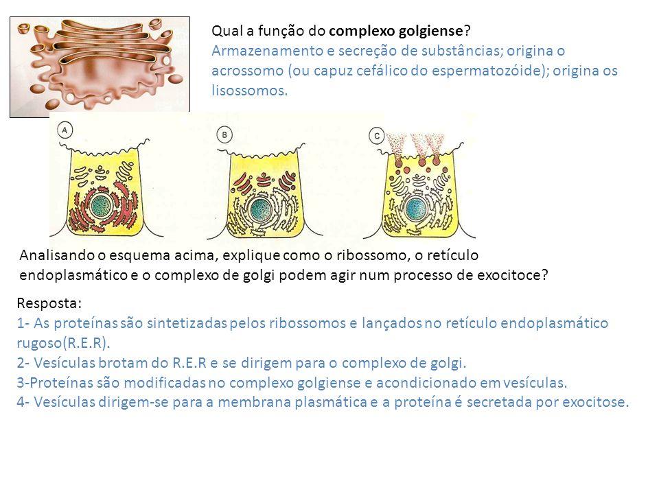 Qual a função do complexo golgiense? Armazenamento e secreção de substâncias; origina o acrossomo (ou capuz cefálico do espermatozóide); origina os li