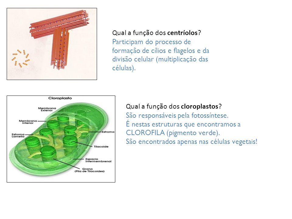 Qual a função dos centríolos? Participam do processo de formação de cílios e flagelos e da divisão celular (multiplicação das células). Qual a função