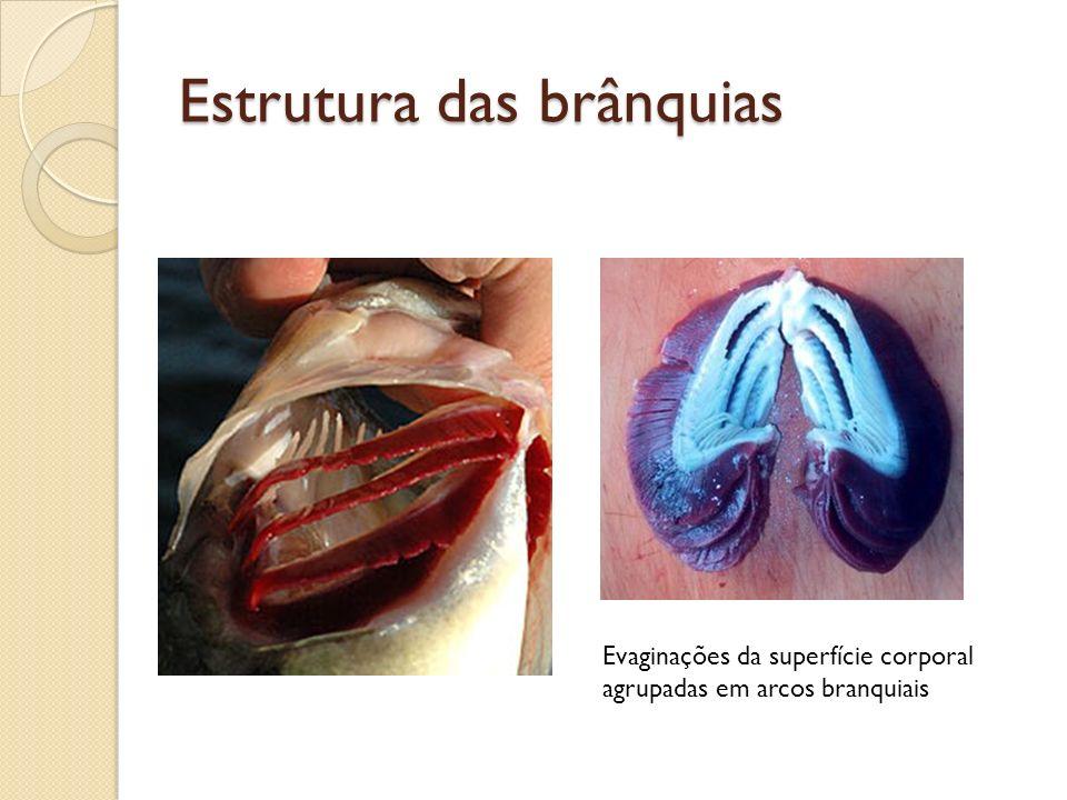 Estrutura das brânquias Evaginações da superfície corporal agrupadas em arcos branquiais