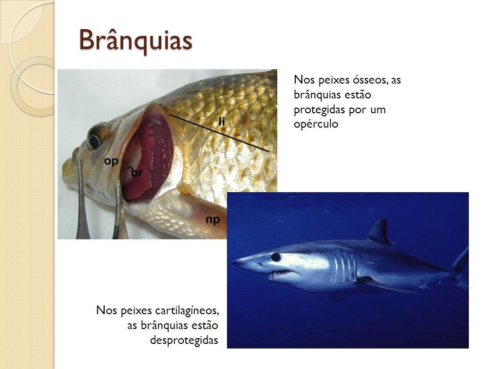 Brânquias Nos peixes ósseos, as brânquias estão protegidas por um opérculo Nos peixes cartilagíneos, as brânquias estão desprotegidas