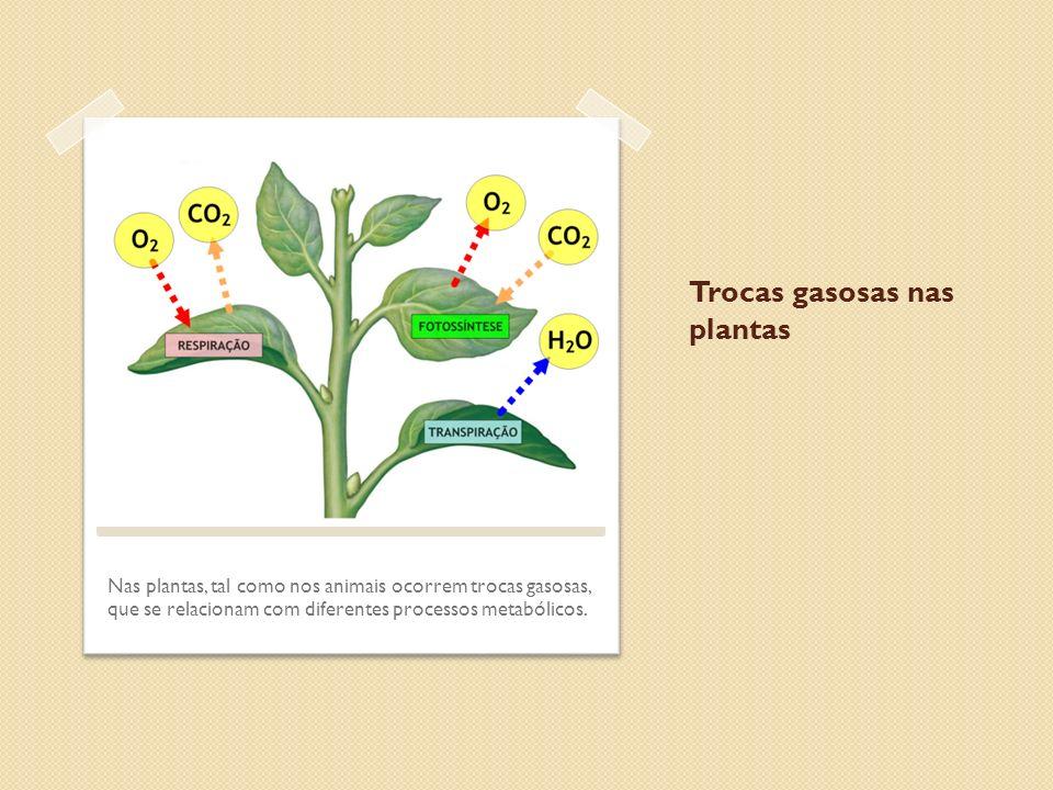 Trocas gasosas nas plantas Nas plantas, tal como nos animais ocorrem trocas gasosas, que se relacionam com diferentes processos metabólicos.