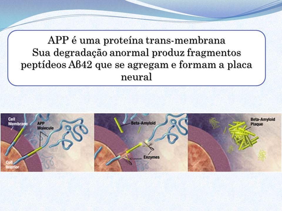 APP é uma proteína trans-membrana Sua degradação anormal produz fragmentos peptídeos Aβ42 que se agregam e formam a placa neural