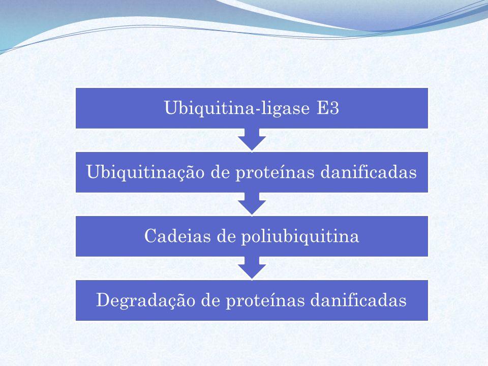 Degradação de proteínas danificadas Cadeias de poliubiquitina Ubiquitinação de proteínas danificadas Ubiquitina-ligase E3