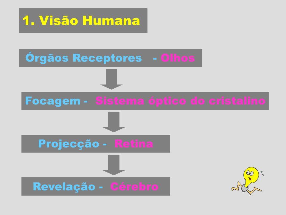 Órgãos Receptores - Olhos Focagem - Sistema óptico do cristalino Projecção - Retina 1.