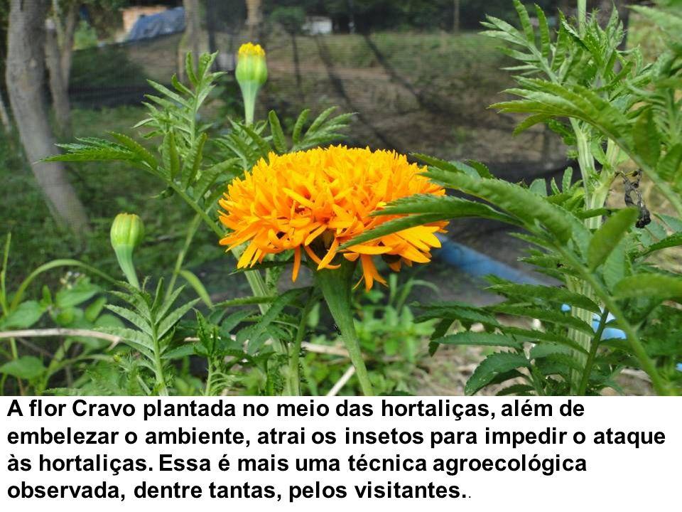 A flor Cravo plantada no meio das hortaliças, além de embelezar o ambiente, atrai os insetos para impedir o ataque às hortaliças. Essa é mais uma técn