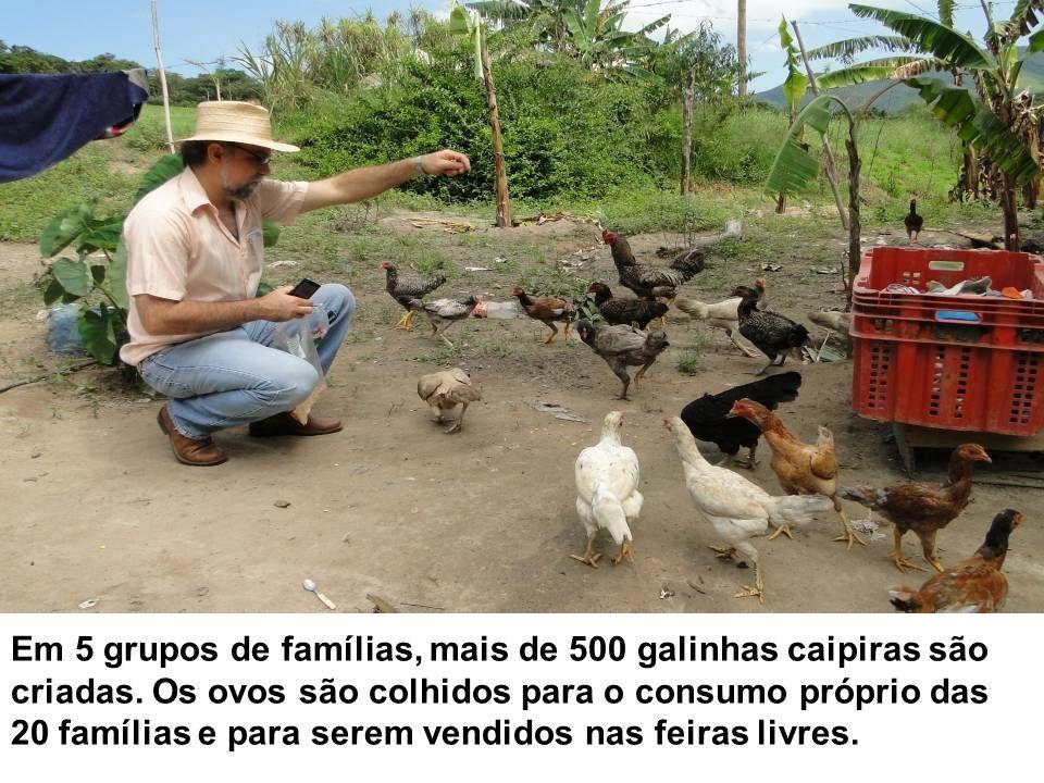 Em 5 grupos de famílias, mais de 500 galinhas caipiras são criadas. Os ovos são colhidos para o consumo próprio das 20 famílias e para serem vendidos