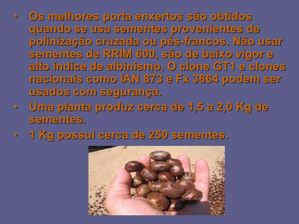 Os melhores porta enxertos são obtidos quando se usa sementes provenientes de polinização cruzada ou pés-francos. Não usar sementes de RRIM 600, são d