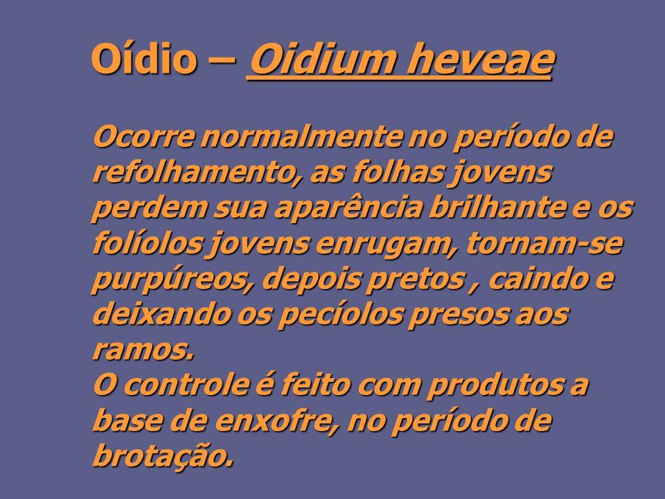 Oídio – Oidium heveae Ocorre normalmente no período de refolhamento, as folhas jovens perdem sua aparência brilhante e os folíolos jovens enrugam, tornam-se purpúreos, depois pretos, caindo e deixando os pecíolos presos aos ramos.