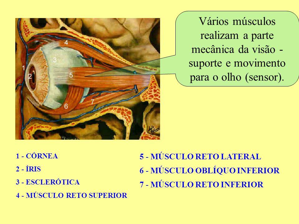 Vestibular e ENEM 26 Para hipermetropia: lentes convergentes Para presbiopia: Acomodação do cristalino lentes ainda mais convergentes Alternativa E