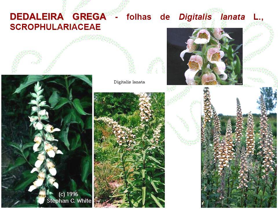 DEDALEIRA GREGA DEDALEIRA GREGA - folhas de Digitalis lanata L., SCROPHULARIACEAE