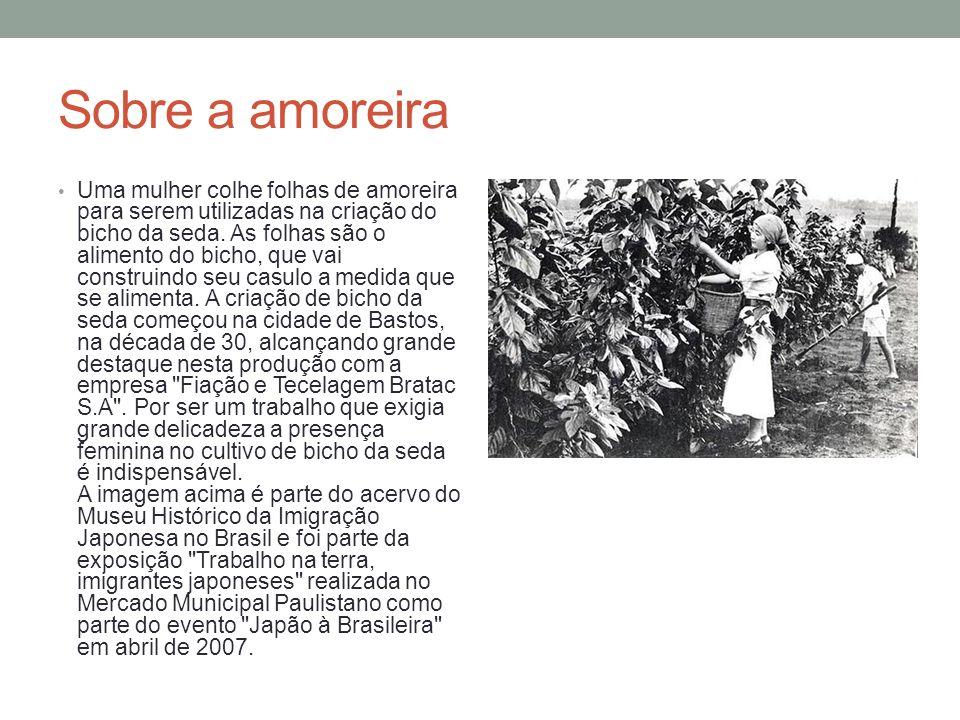 Sobre a amoreira Uma mulher colhe folhas de amoreira para serem utilizadas na criação do bicho da seda.