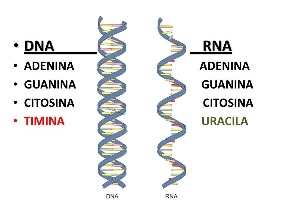 DNA RNA DNA RNA ADENINA ADENINA GUANINA GUANINA CITOSINA CITOSINA TIMINA URACILA