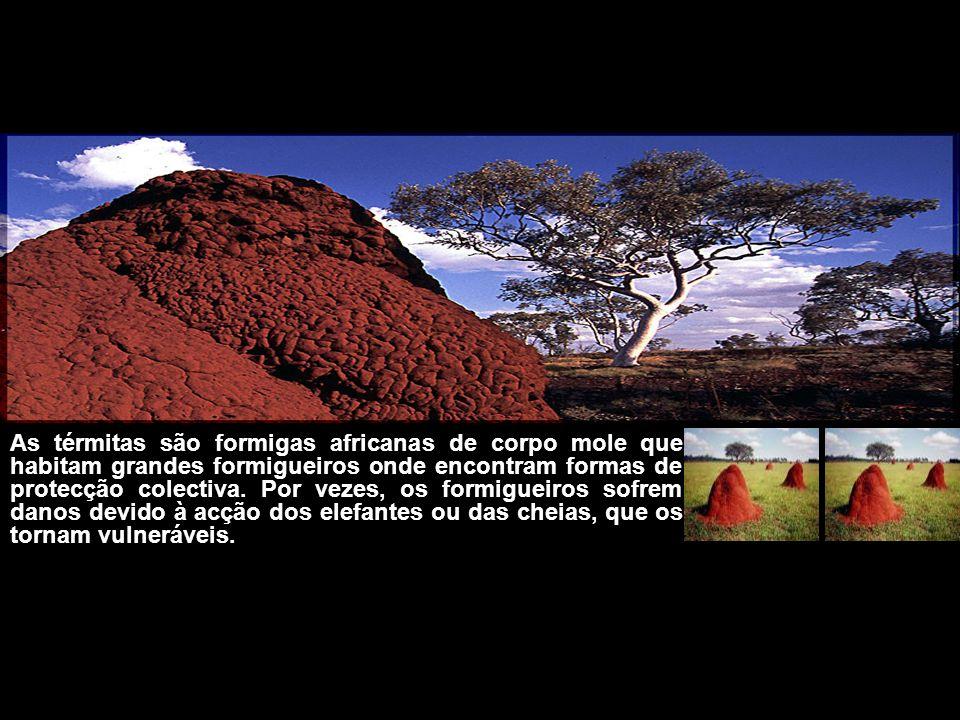 As térmitas são formigas africanas de corpo mole que habitam grandes formigueiros onde encontram formas de protecção colectiva. Por vezes, os formigue