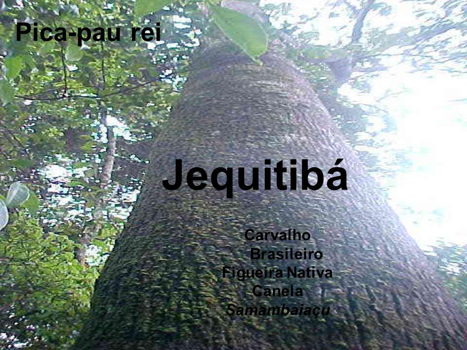Carvalho Brasileiro Figueira Nativa Canela Samambaiaçu Jequitibá Pica-pau rei