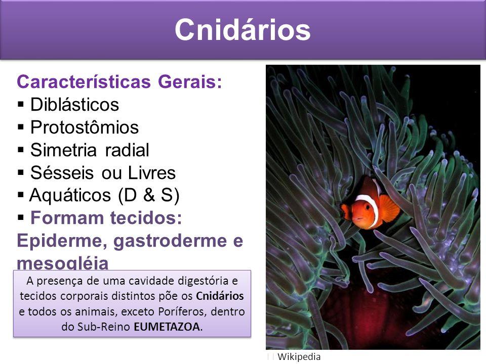 Características Gerais: Diblásticos Protostômios Simetria radial Sésseis ou Livres Aquáticos (D & S) Formam tecidos: Epiderme, gastroderme e mesogléia