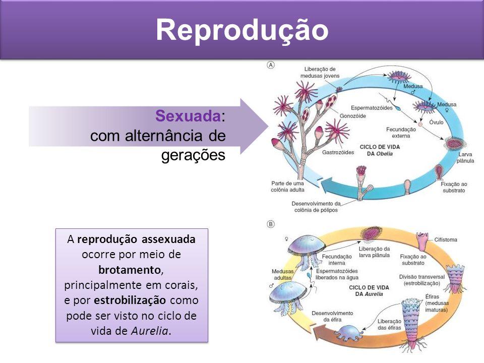 Reprodução Sexuada: com alternância de gerações A reprodução assexuada ocorre por meio de brotamento, principalmente em corais, e por estrobilização c