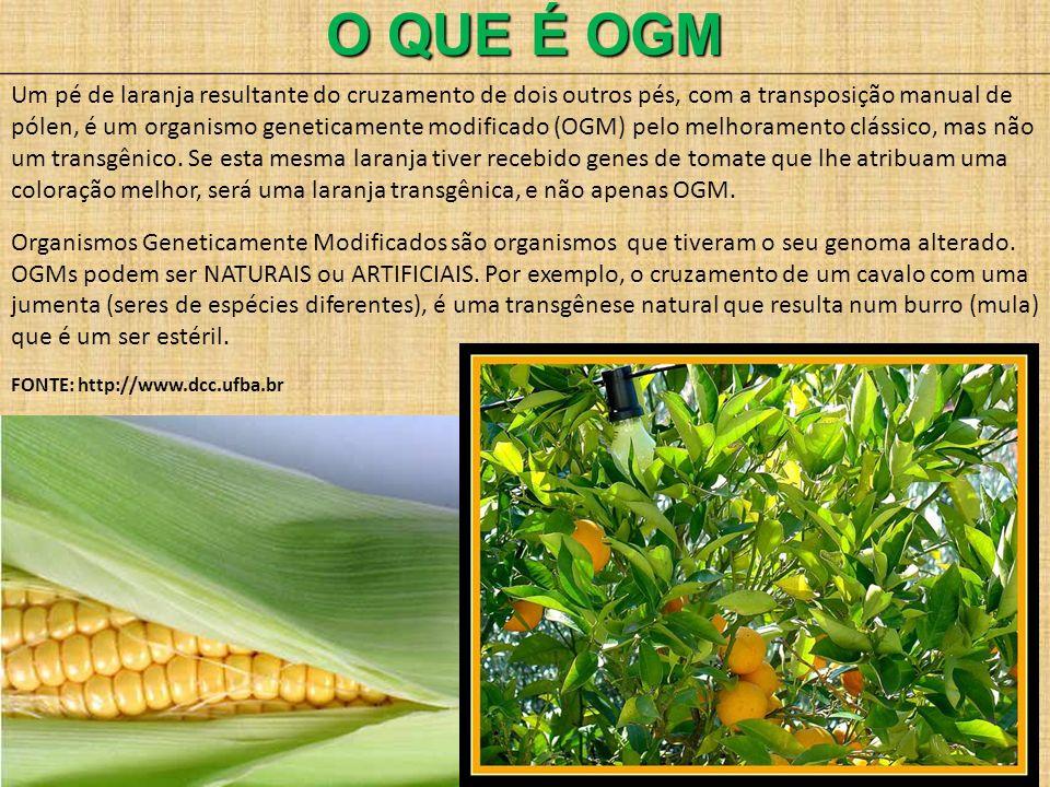 O QUE É OGM Um pé de laranja resultante do cruzamento de dois outros pés, com a transposição manual de pólen, é um organismo geneticamente modificado