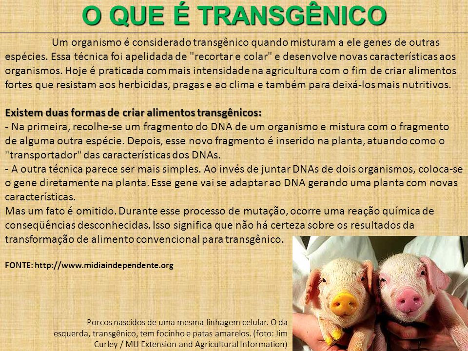 O QUE É TRANSGÊNICO Um organismo é considerado transgênico quando misturam a ele genes de outras espécies. Essa técnica foi apelidada de