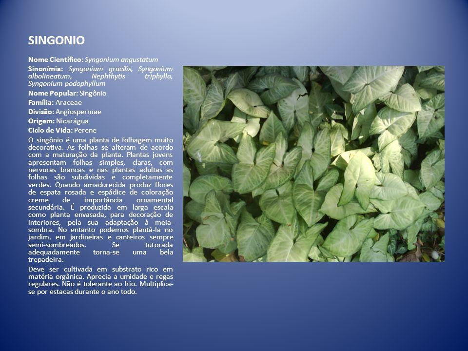 SINGONIO Nome Científico: Syngonium angustatum Sinonímia: Syngonium gracilis, Syngonium albolineatum, Nephthytis triphylla, Syngonium podophyllum Nome