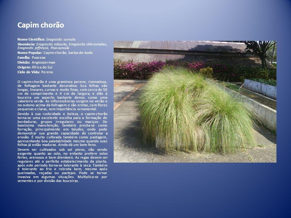 Capim chorão Nome Científico: Eragrostis curvula Sinonímia: Eragrostis robusta, Eragrostis chloromelas, Eragrostis jeffreysii, Poa curvula Nome Popula