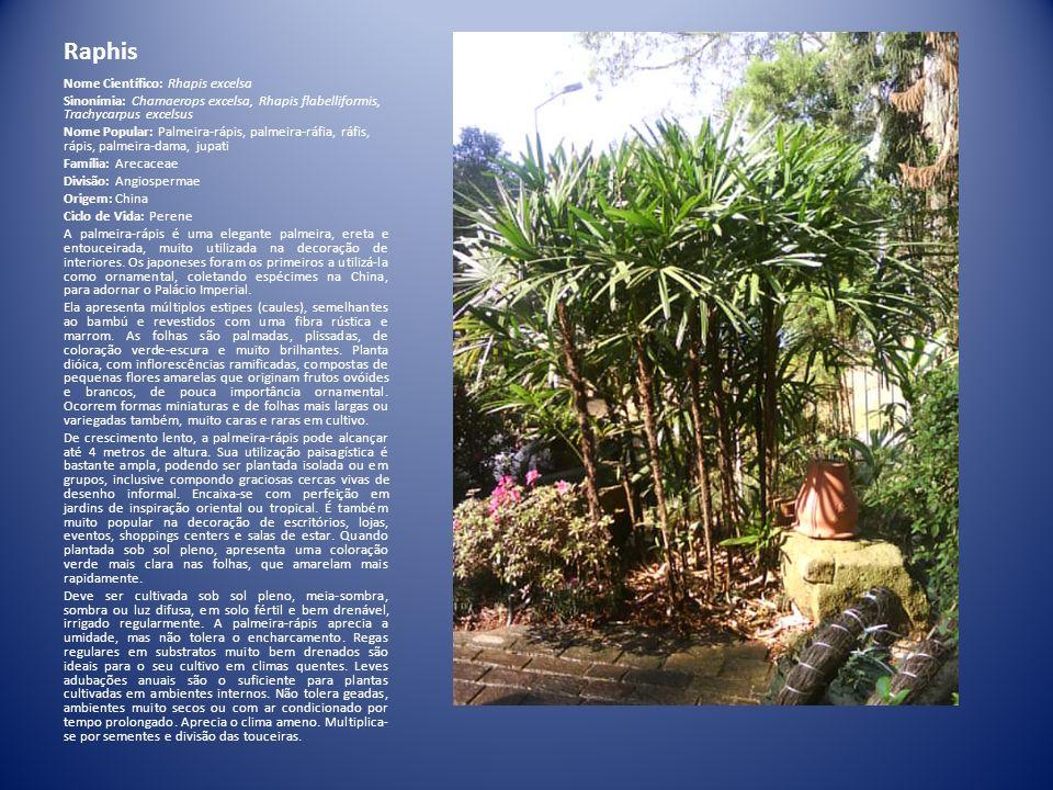 Raphis Nome Científico: Rhapis excelsa Sinonímia: Chamaerops excelsa, Rhapis flabelliformis, Trachycarpus excelsus Nome Popular: Palmeira-rápis, palme