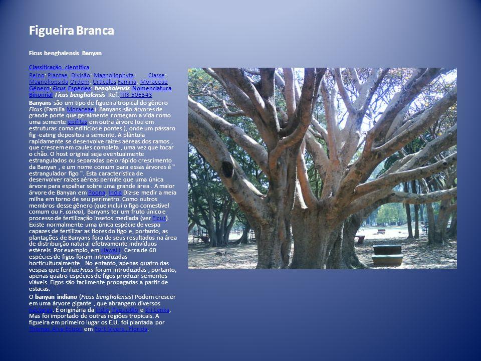 Figueira Branca Ficus benghalensis Banyan Classificação científica ReinoReino: Plantae Divisão: Magnoliophyta Classe: Magnoliopsida Ordem: Urticales F
