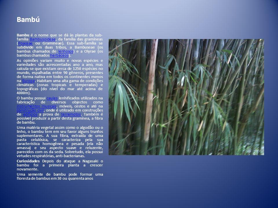 Bambú Bambu é o nome que se dá às plantas da sub- família Bambusoideae, da família das gramíneas (Poaceae ou Gramineae). Essa sub-família se subdivide
