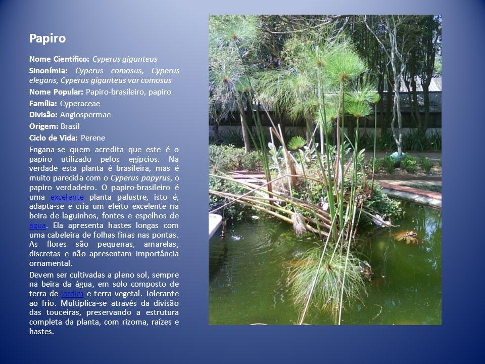 Papiro Nome Científico: Cyperus giganteus Sinonímia: Cyperus comosus, Cyperus elegans, Cyperus giganteus var comosus Nome Popular: Papiro-brasileiro,
