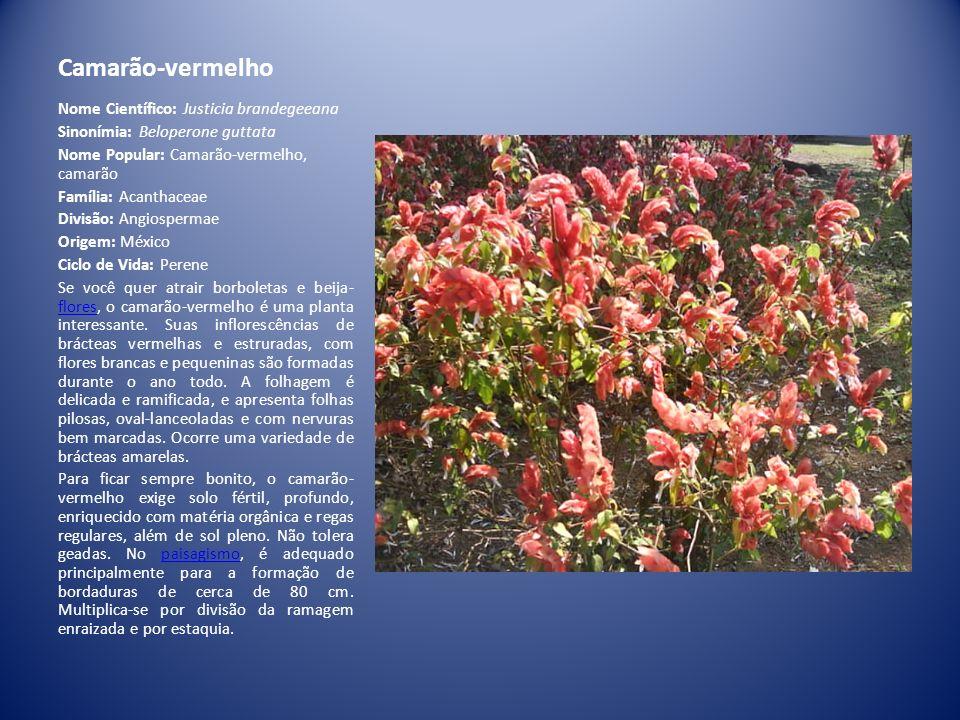 Camarão-vermelho Nome Científico: Justicia brandegeeana Sinonímia: Beloperone guttata Nome Popular: Camarão-vermelho, camarão Família: Acanthaceae Div